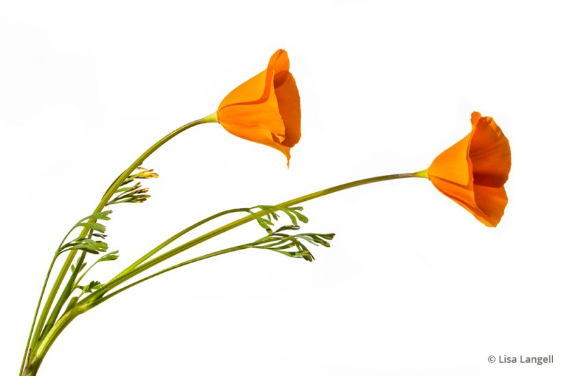 Simple images like this poppy on a white background are an example of prints that sell well