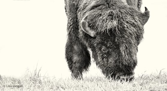 High-key photograph of a bison