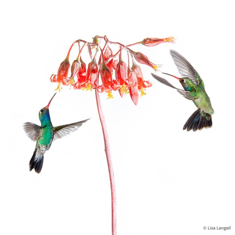 Prints that sell: composited image of hummingbirds