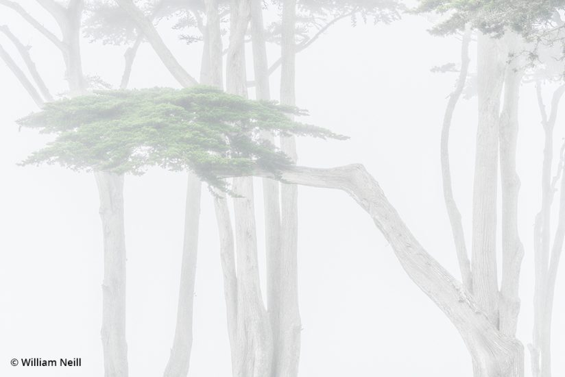 Image of Cypress trees in fog, Monterey, California, 2019.