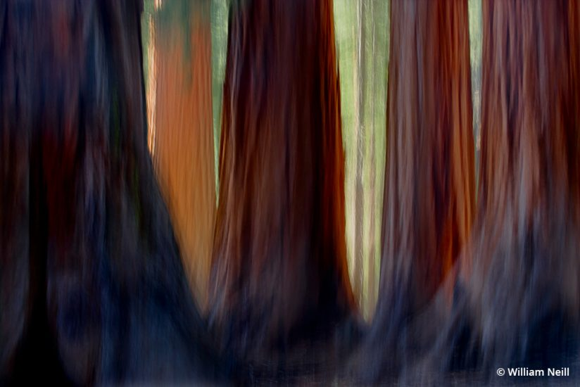 Image of Giant sequoias, Mariposa Grove, Yosemite National Park, California, 2007.