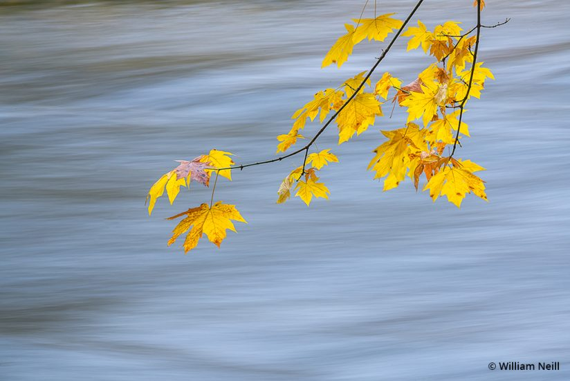 Image of Maple leaves along the Merced River, Yosemite National Park, California, 2016.