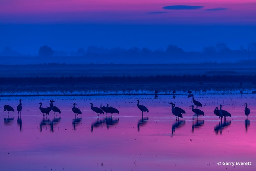 Photograph of sandhill cranes migrating on the Pacific Flyway
