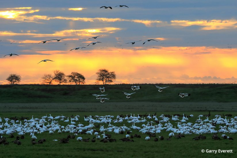 Snow geese on the Pacific Flyway