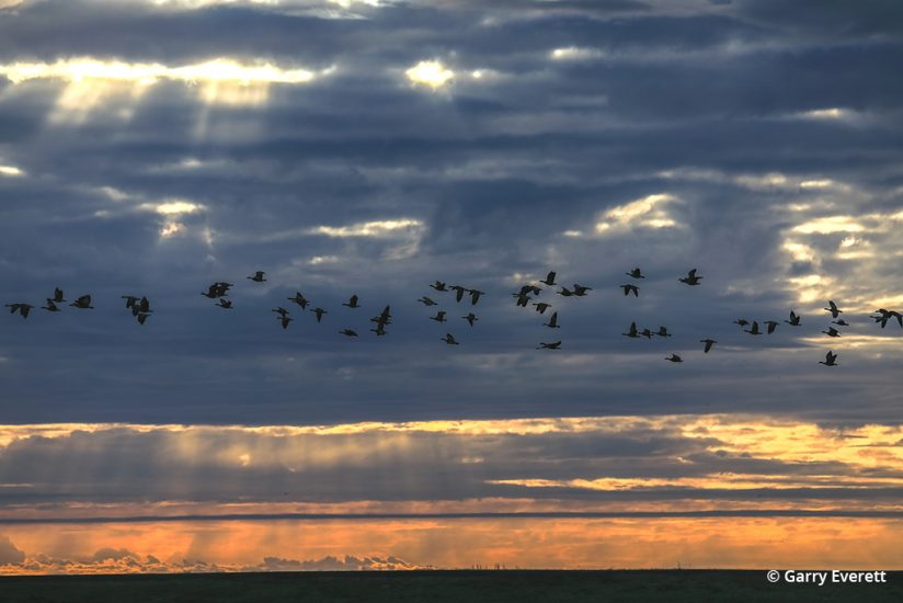 A flock of geese on the Pacific Flyway