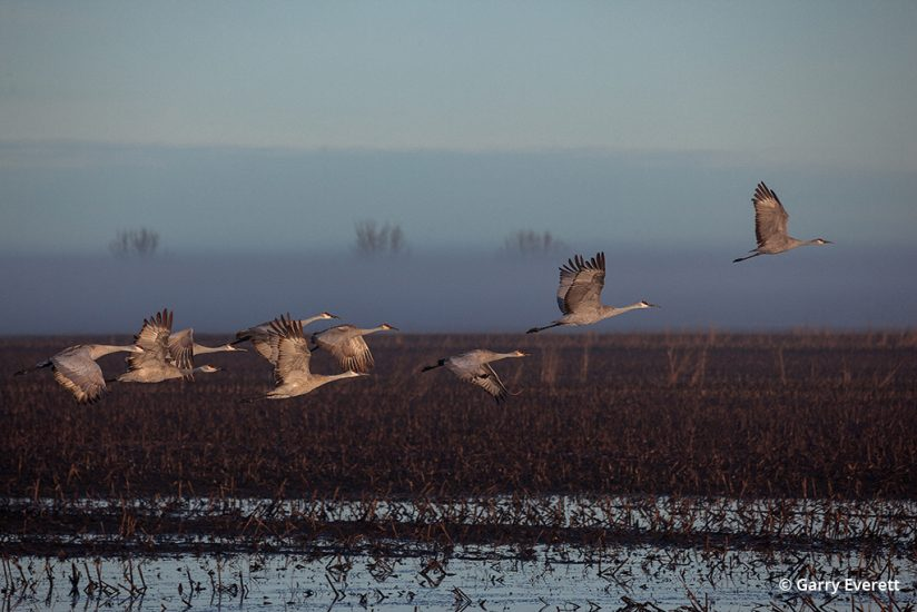 Image of sandhill cranes on the Pacific Flyway