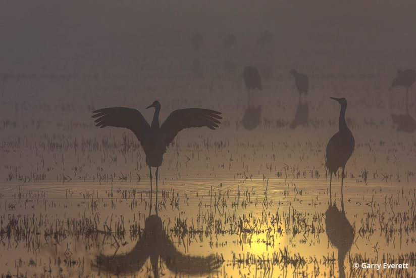 Sandhill cranes in early morning light on the Pacific Flyway