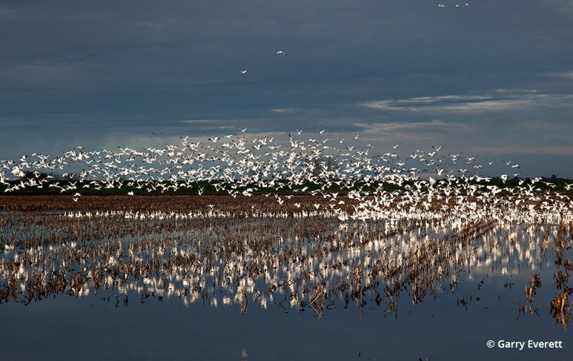 Snow geese taking flight on the Pacific Flyway
