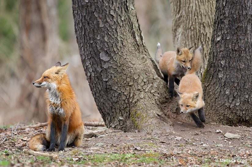 Photograph A Fox Den: Kits playing