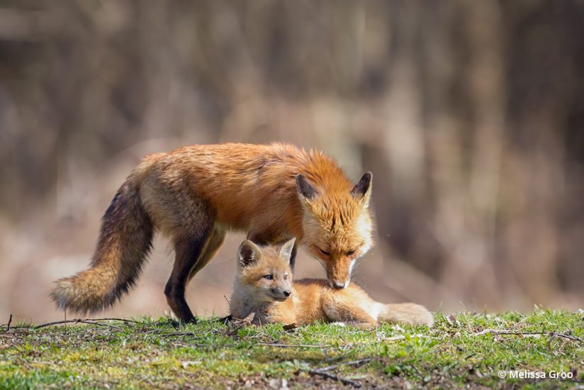 Photograph a fox den: Father fox nuzzles his kit.