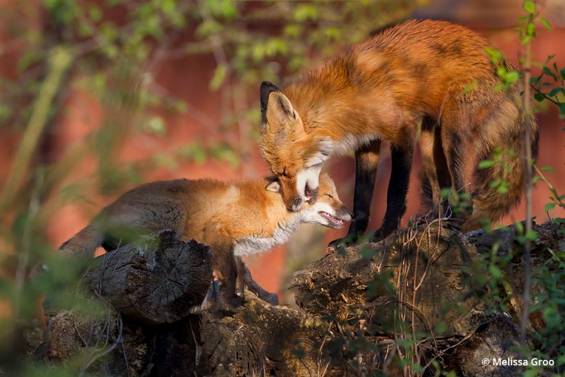 Photograph a fox den: Father fox greets his kit