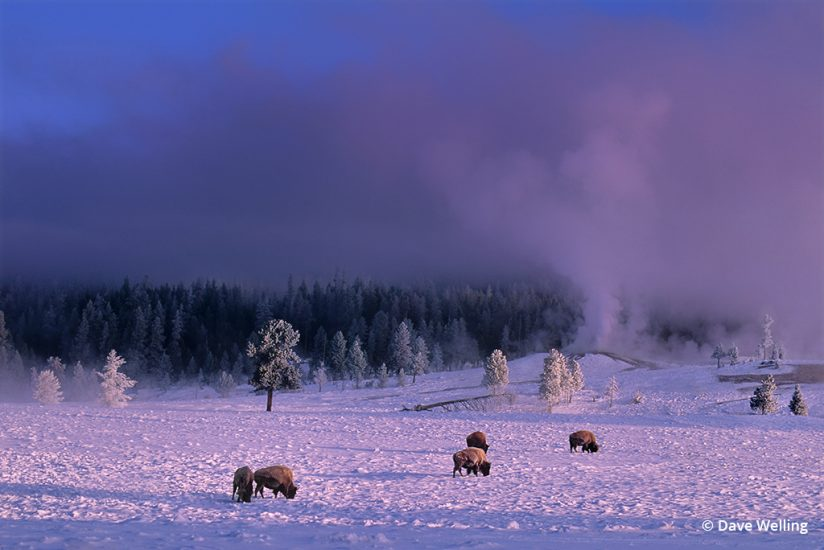 Winter landscape photography: Bison at Yellowstone