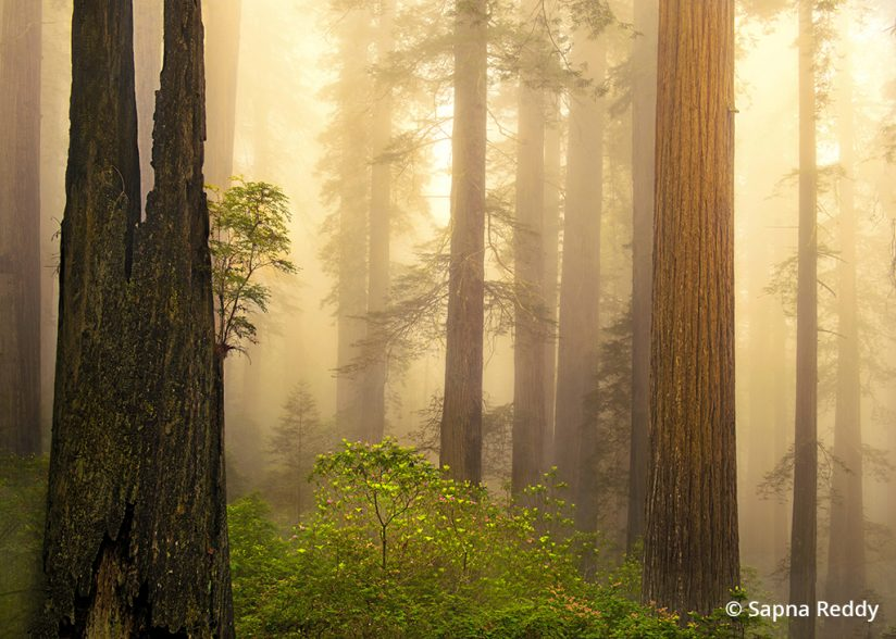 Photo of redwood trees and fog, Del Norte Coast Redwoods State Park