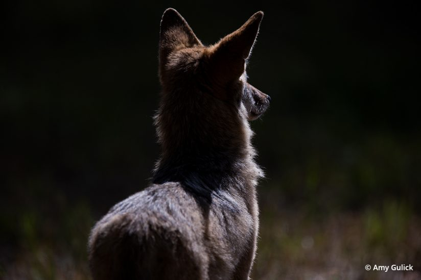 Side-lit image of a coyote