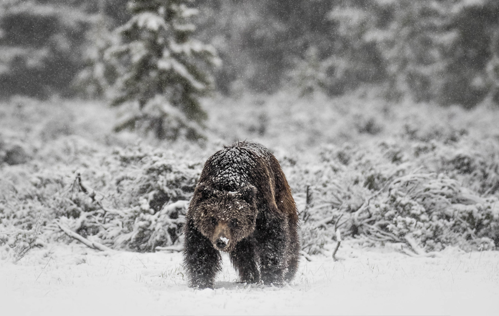 Image of a bear in snow.