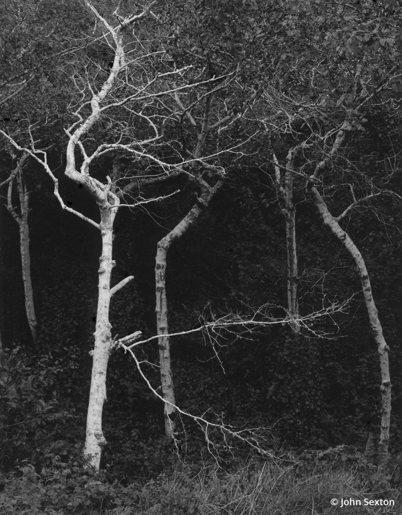 """""""Sycamore Trunks"""" by John Sexton."""