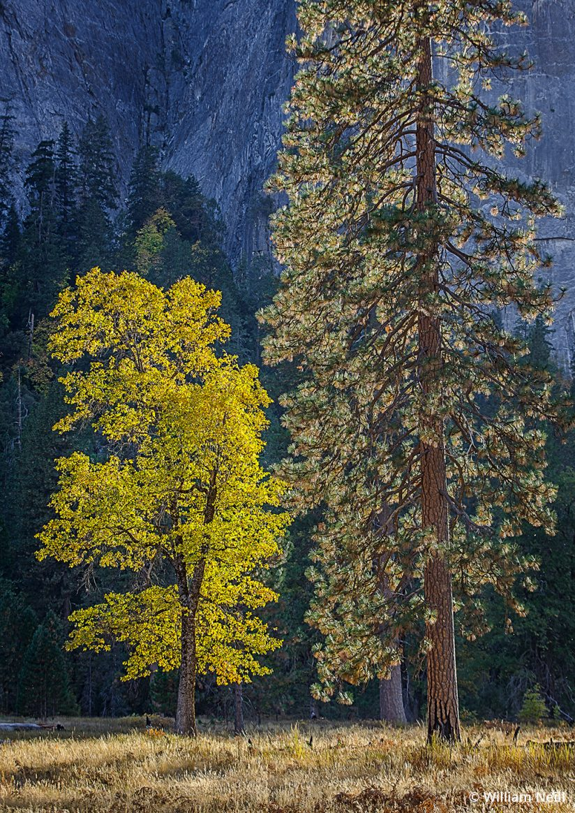 Image of an oak and pine tree in Yosemite.