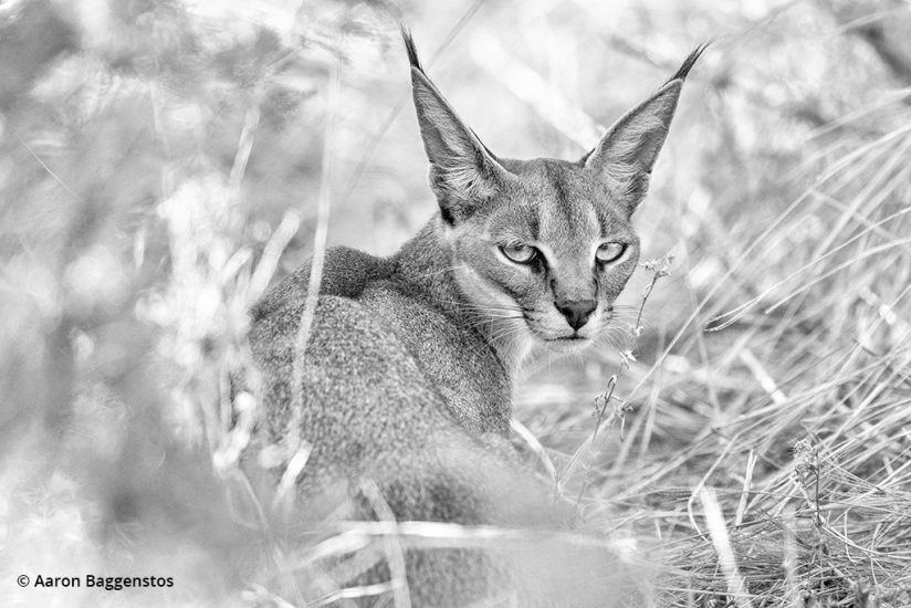 Image of the reclusive caracal