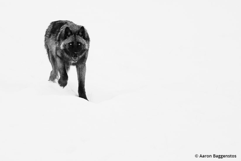 Image of a black wolf in snow.