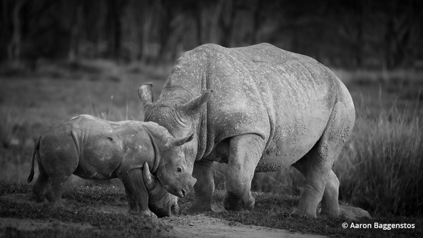 Image of two rhinos.