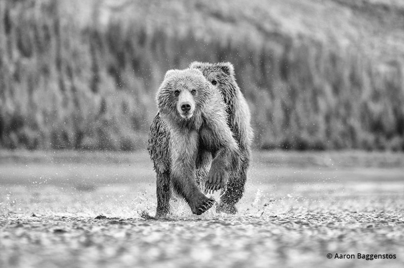 When to use black and white: An example image of two bears.