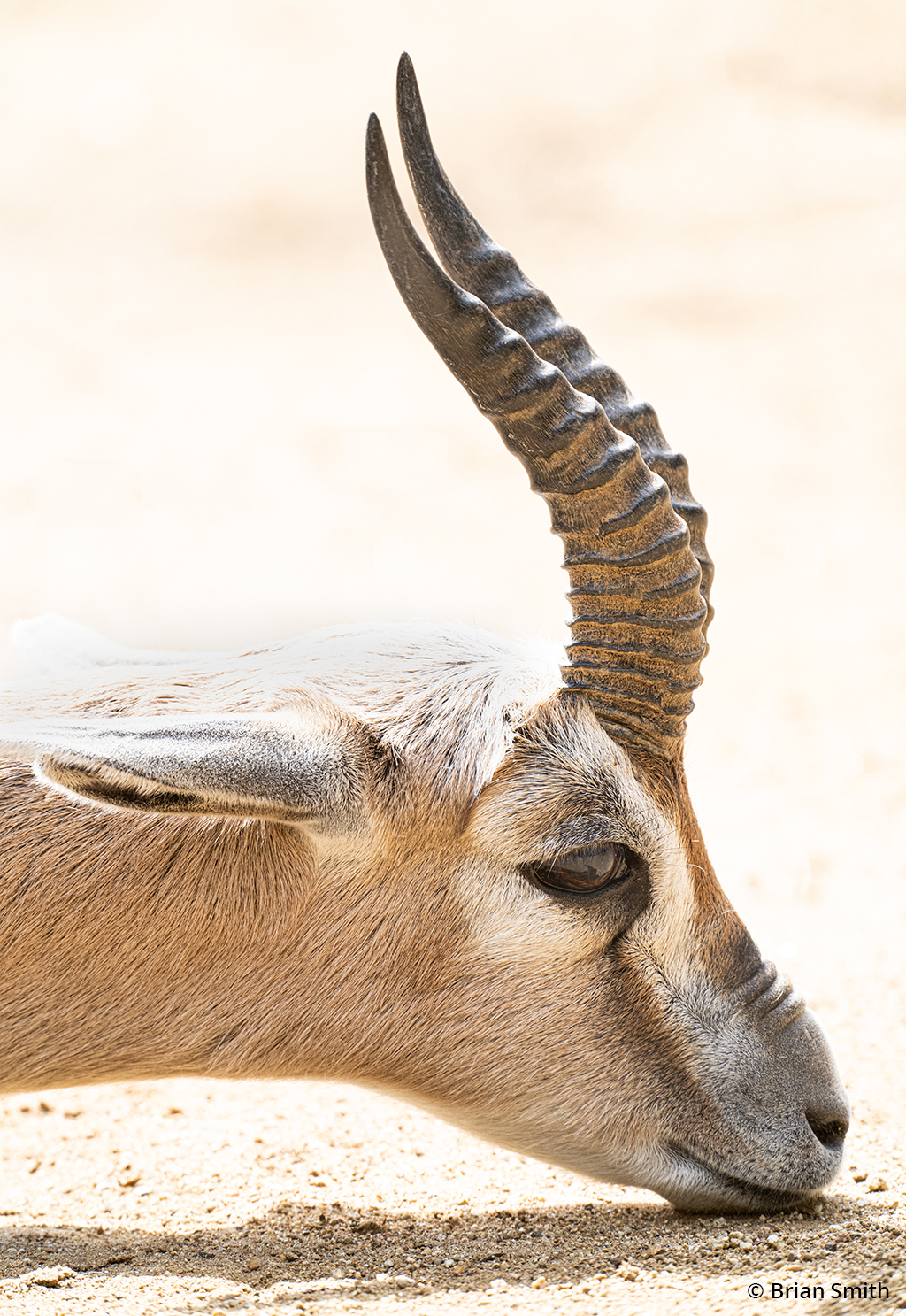 Image of a Speke's gazelle at the Los Angeles Zoo.