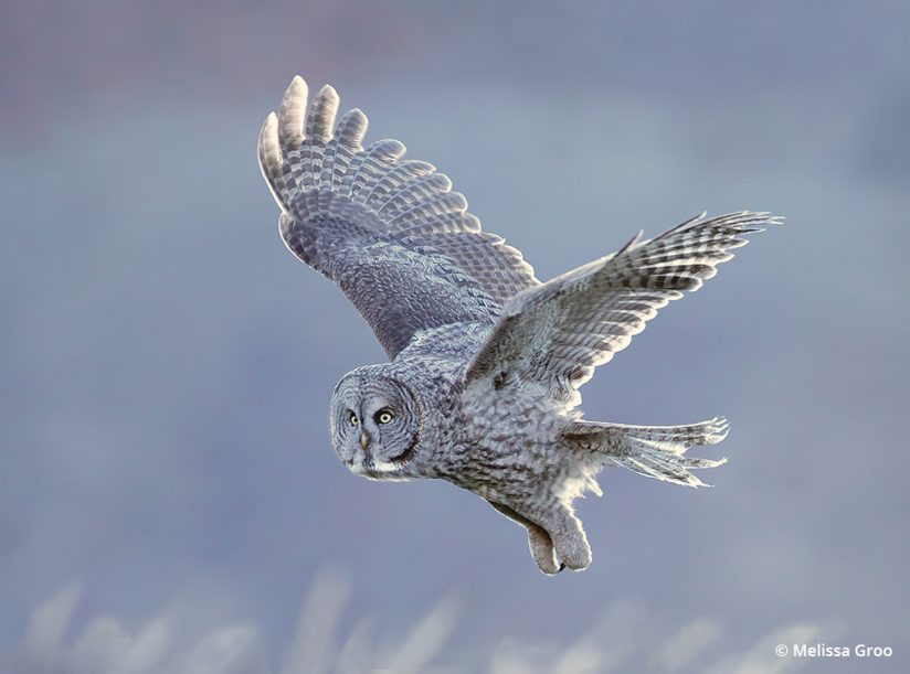 Photograph of a great gray owl