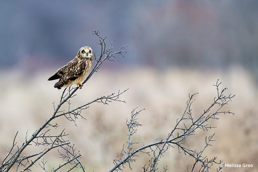 Photograph owls: image of a short-eared owl.