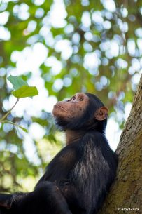 Image of a chimpanzee, one of the animals in the running for the New Big 5.
