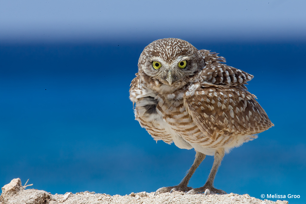 Image of burrowing owl to illustrate the importance of sharpness in wildlife photos.