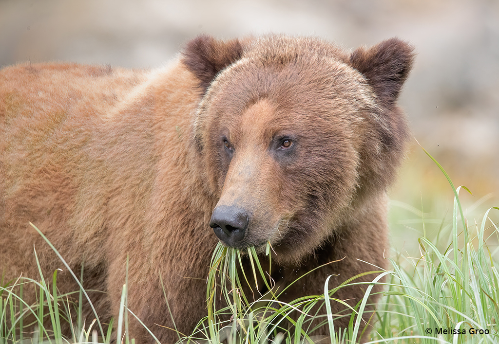 Image of a brown bear eating grass.