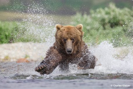 Image of a bear charging through a river in Katmai National Park
