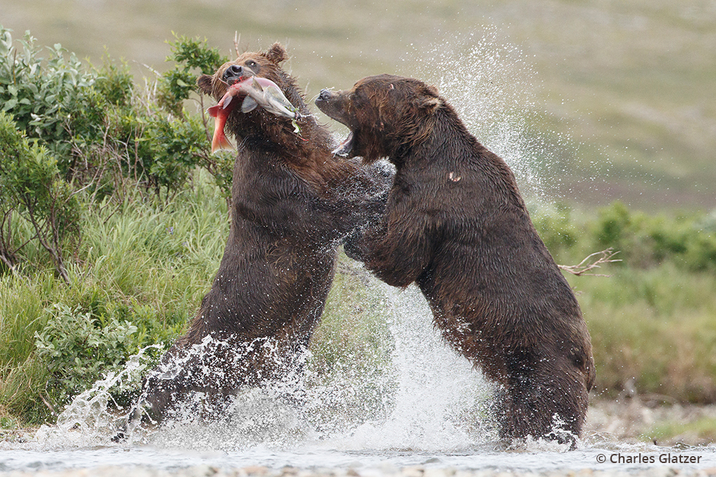 Bears fighting over a salmon.