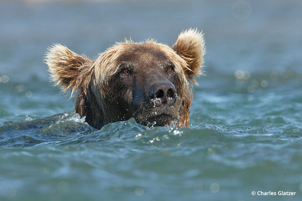 Image of a brown bear coming up for air after diving for fish.
