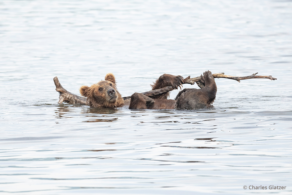 Image of a bear floating lazily on its back in the river