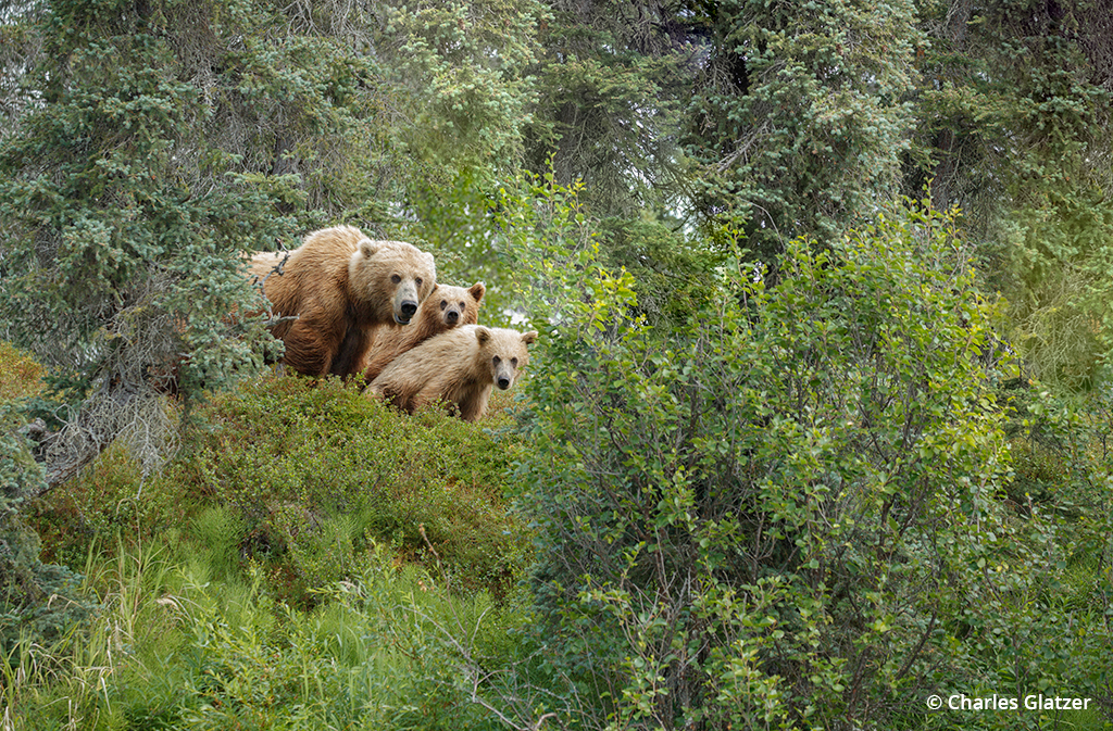 Image of a bear and her cubs in Katmai National Park