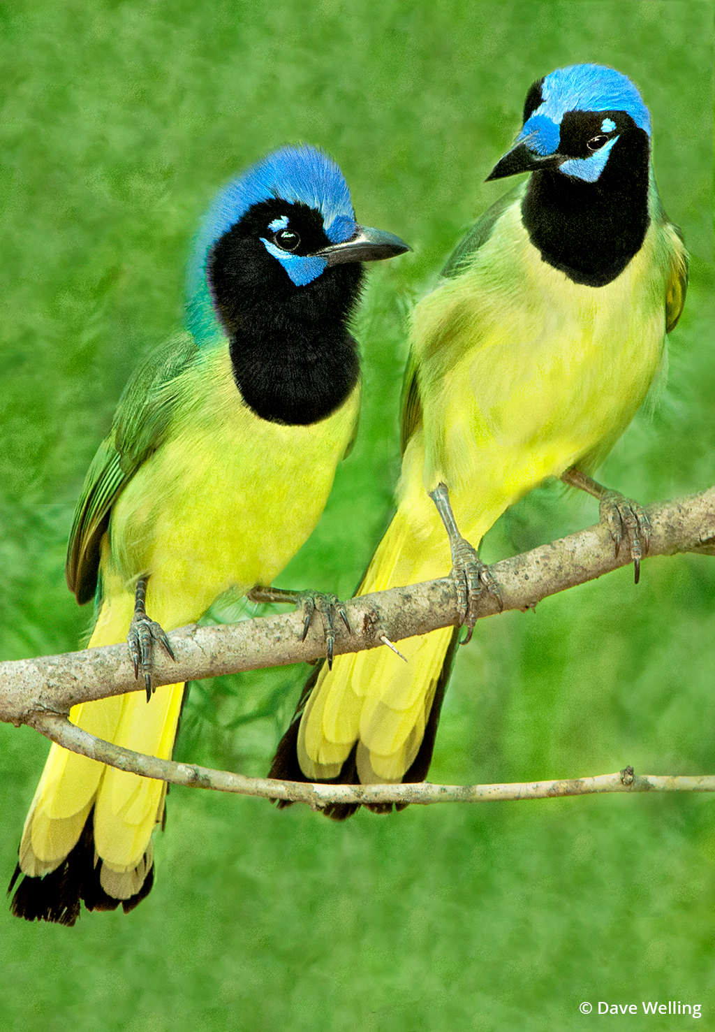 Texas wildlife includes green jays pictured here.
