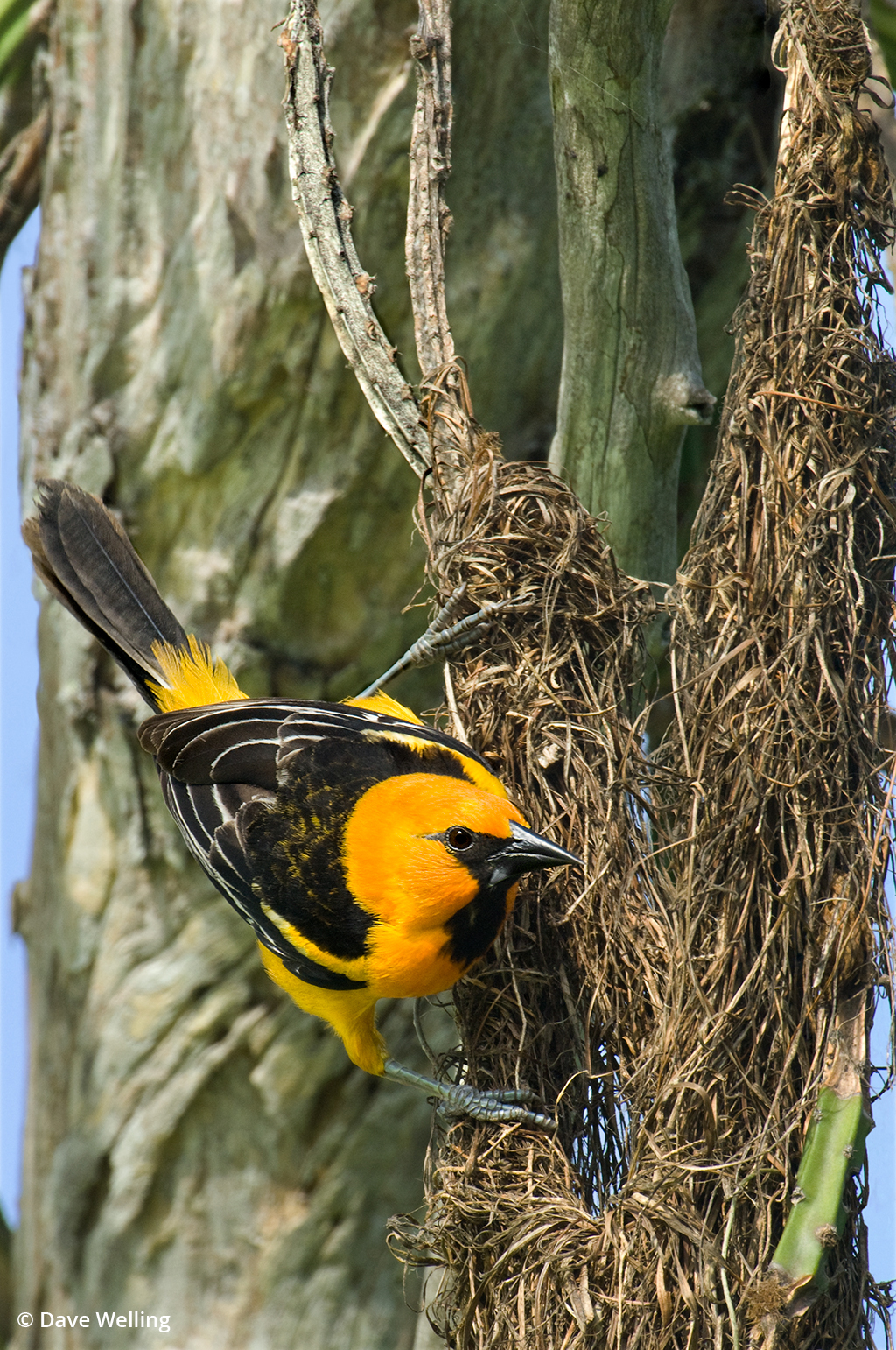 Image of a altamira oriole on a nest.