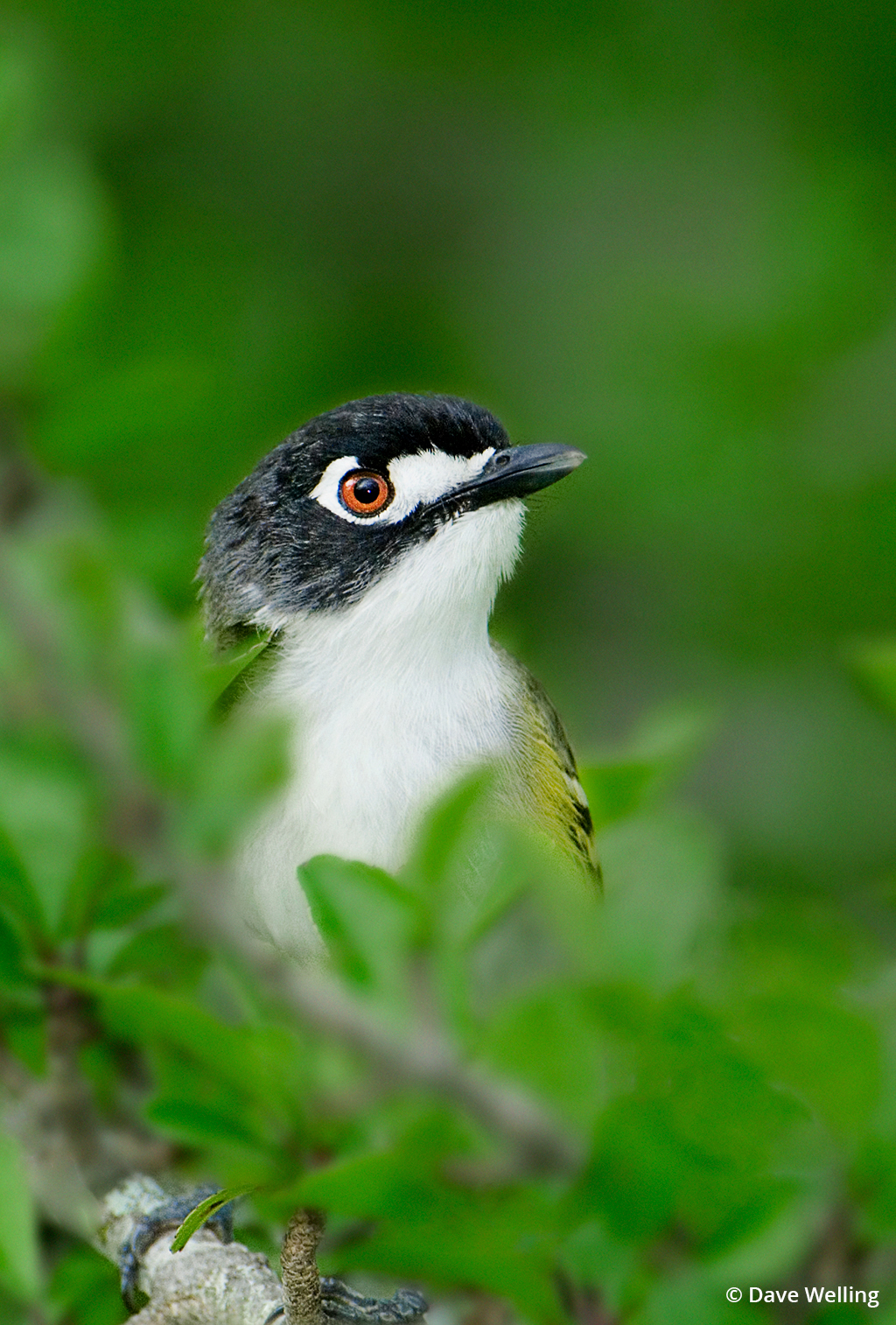 Image of a black-capped vireo.