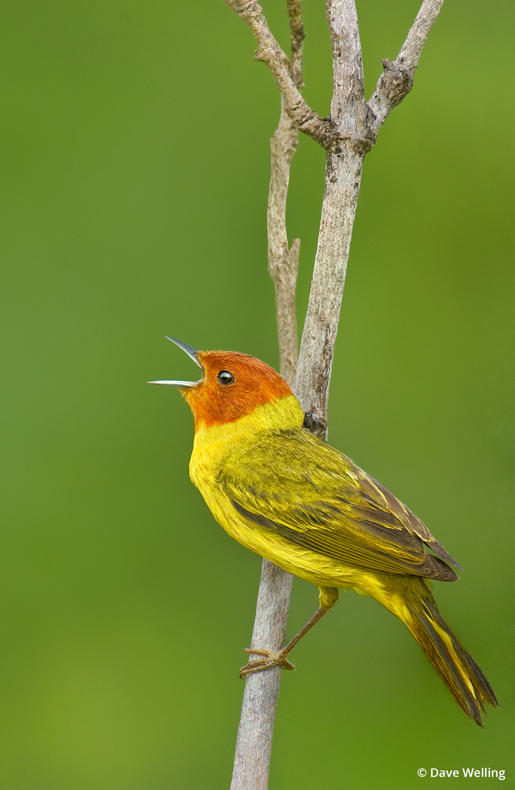 Image of a mangrove yellow warbler.