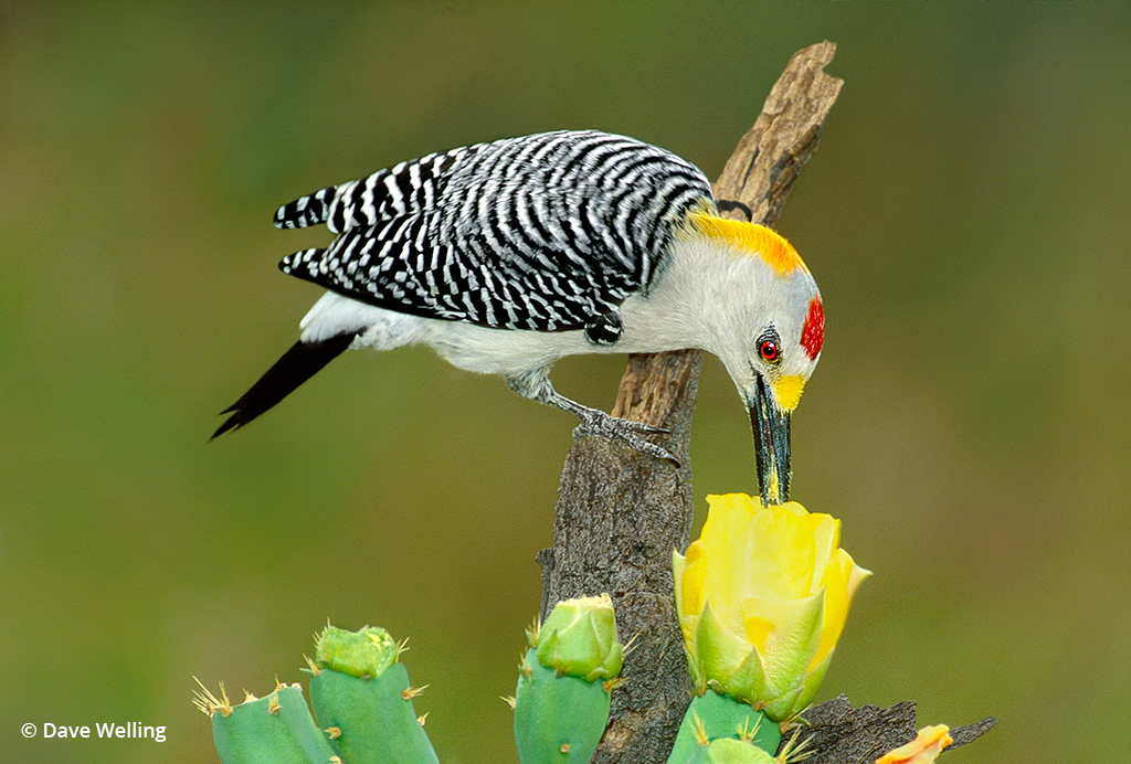 Texas wildlife: Image of a Golden-fronted woodpecker