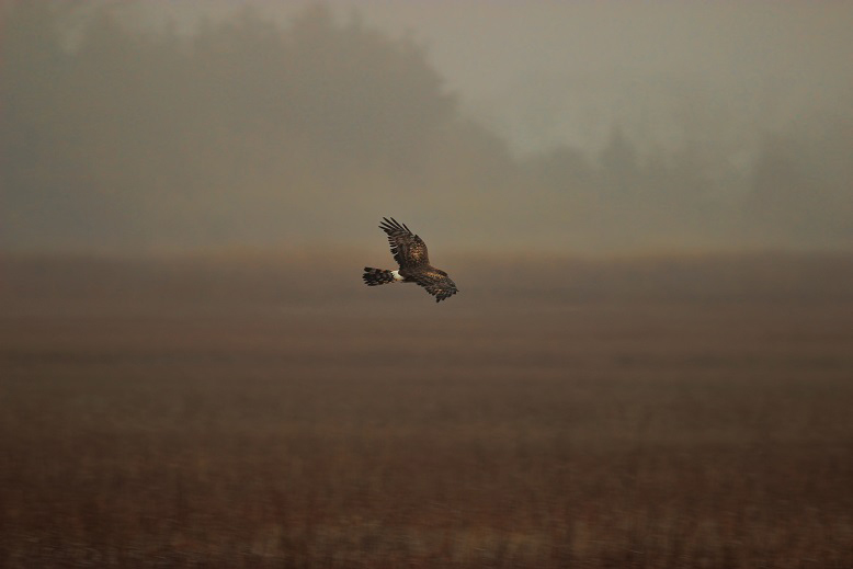 Northern harrier hammonasset Ct Winter