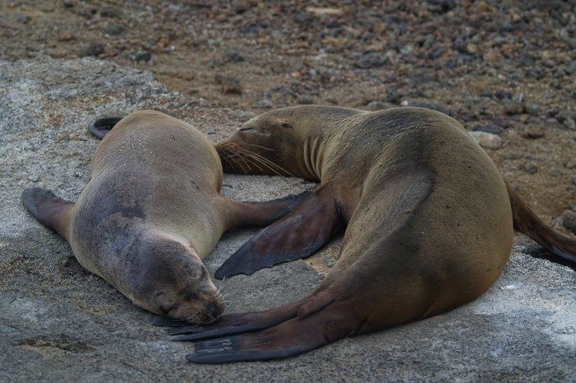 sealions mom and baby