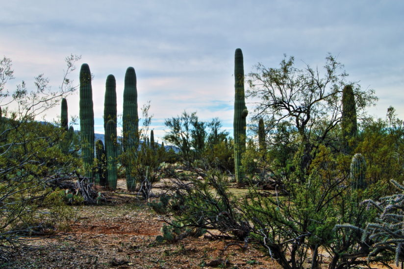Guardians of the Sonoran Desert