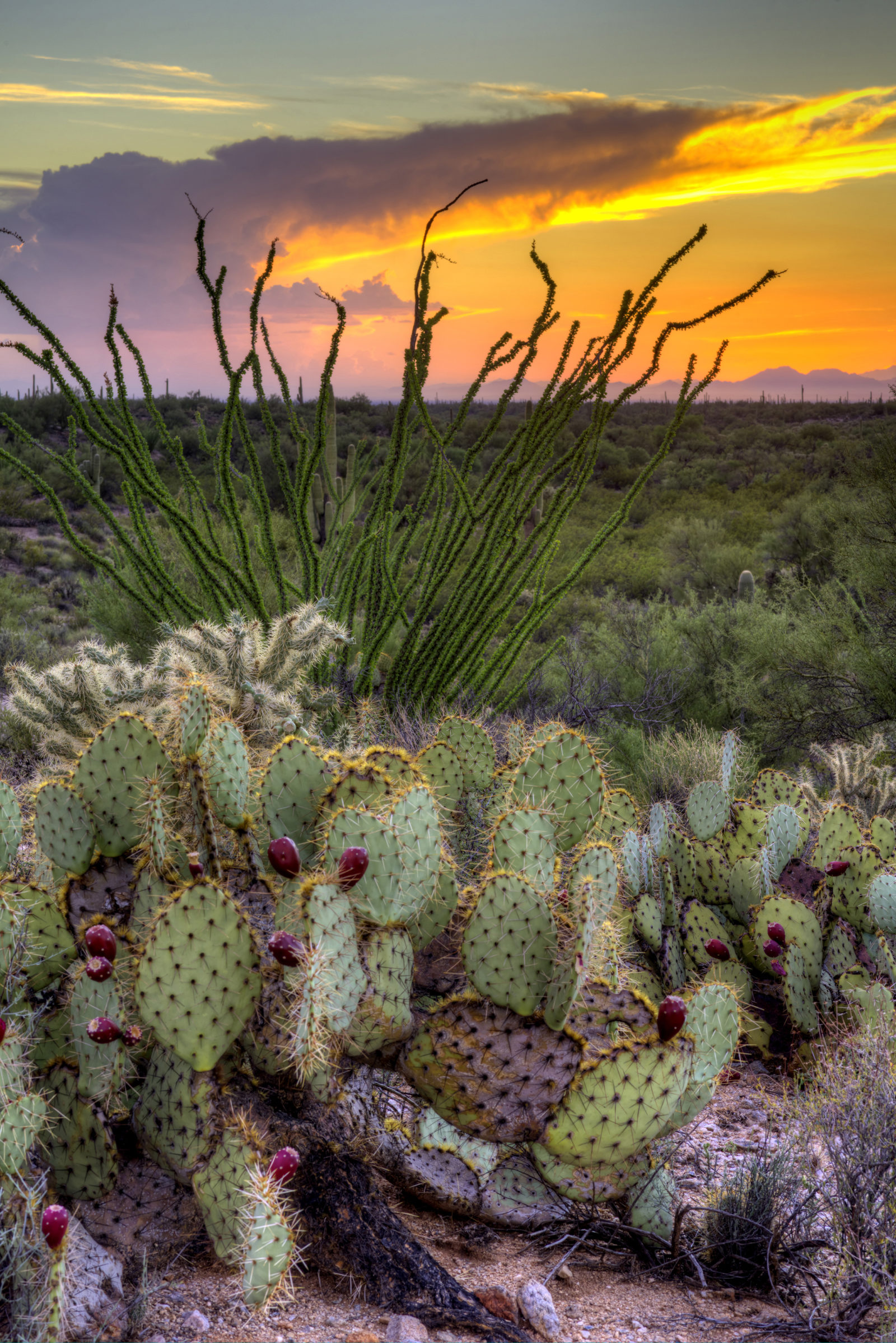 Prickly Pear and Ocotillo Sunset