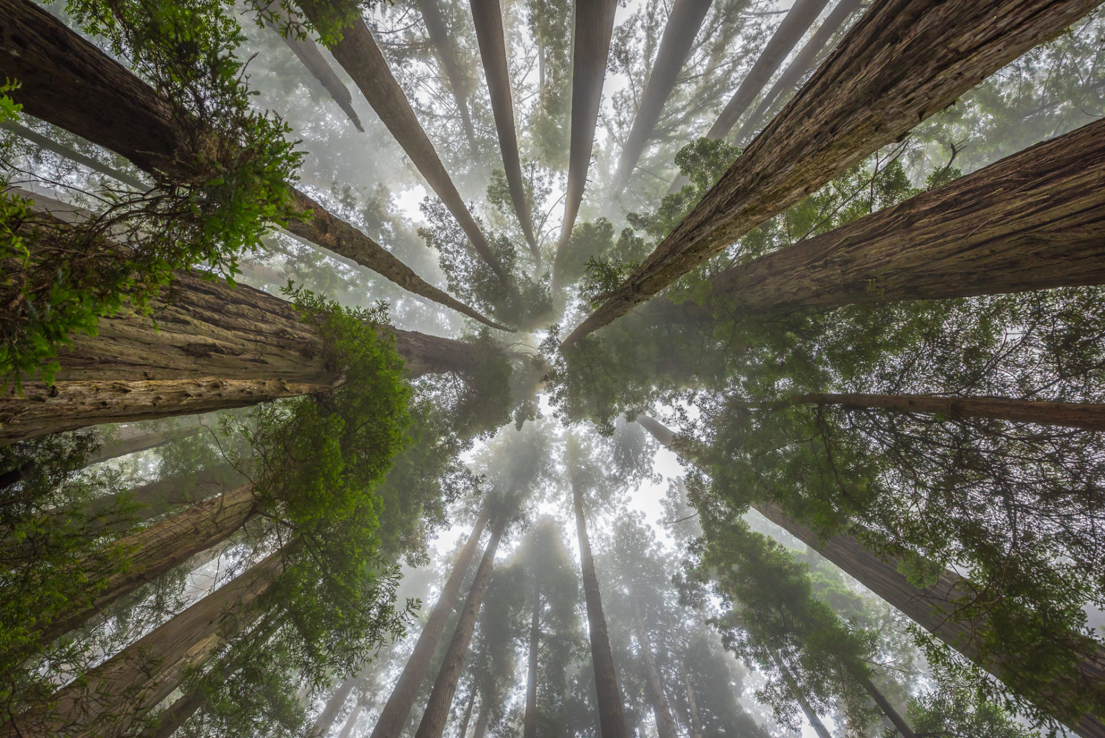 Ancient Redwoods