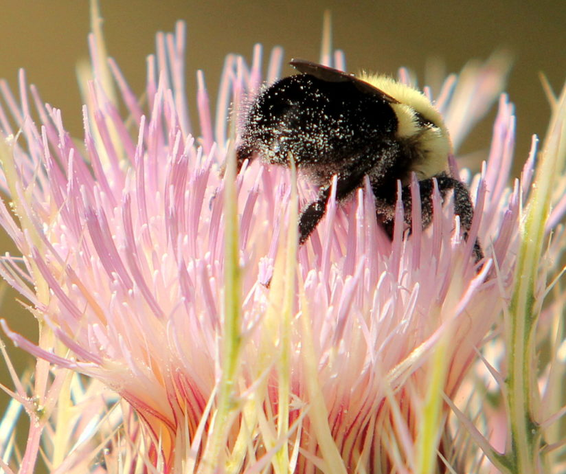 Polleny Bumblebutt