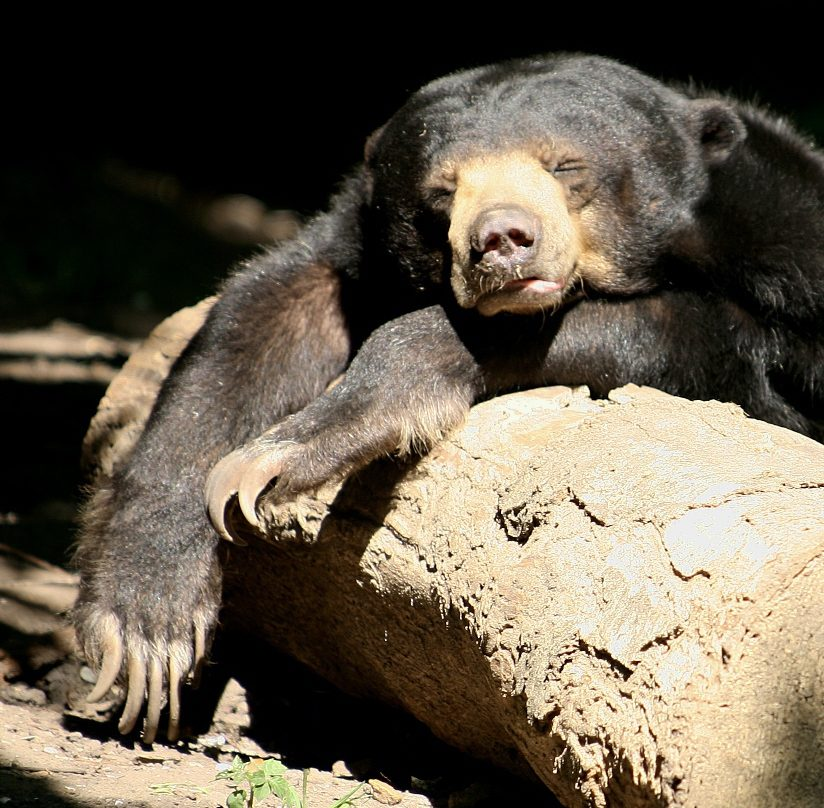 Sleeping Sun Bear