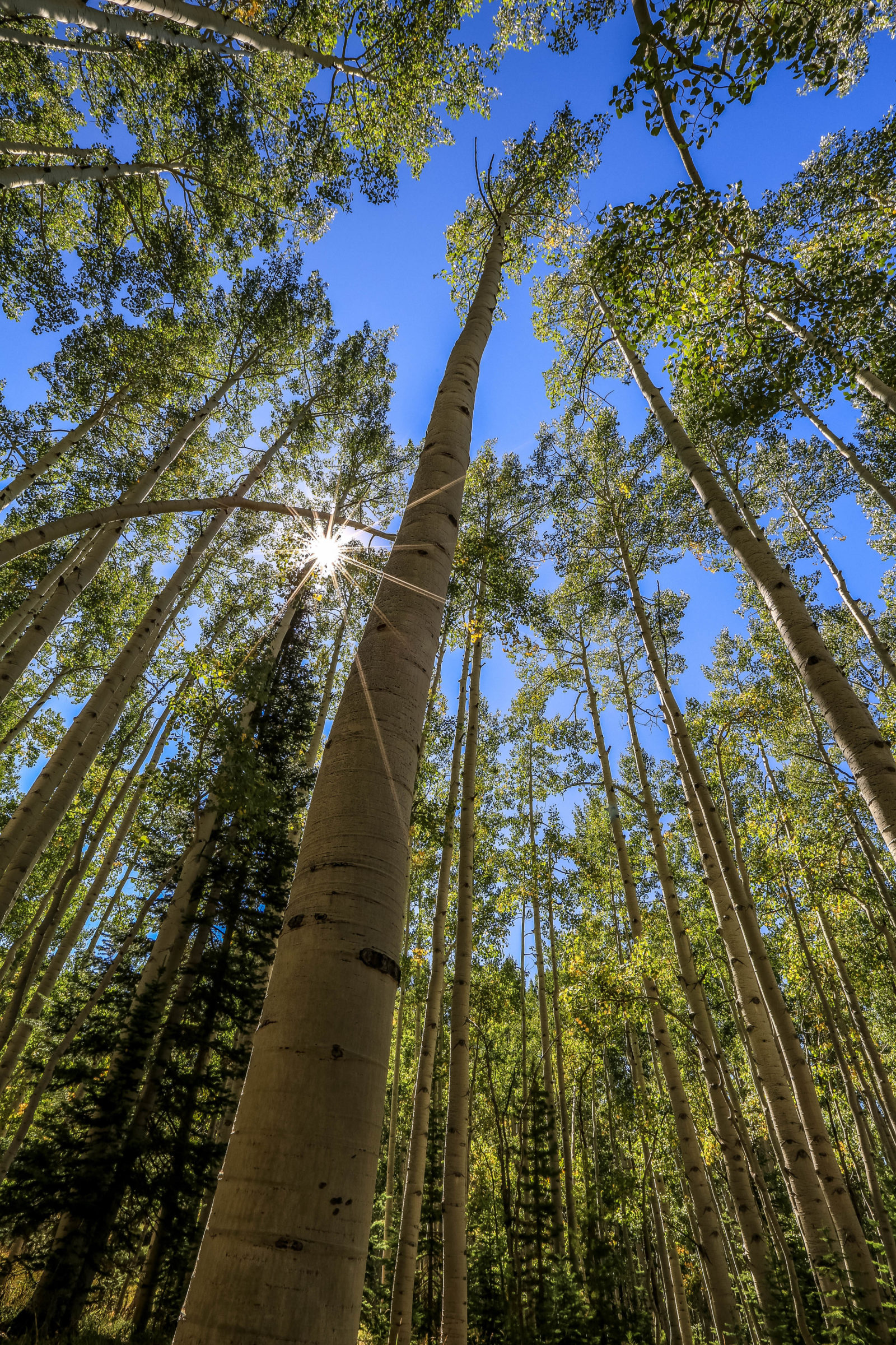 Inside the Aspen Forest