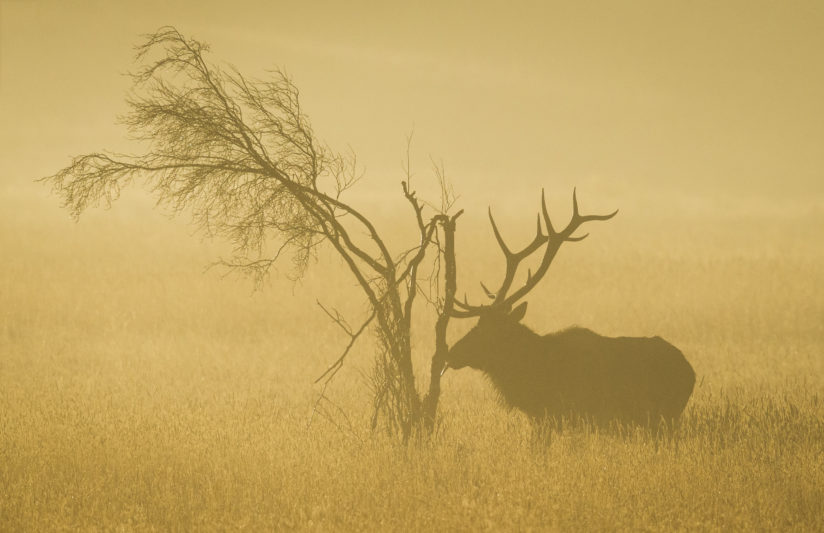 Elk on a Foggy Morning 1